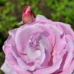 Светло-сиреневый цветок розы крупным планом