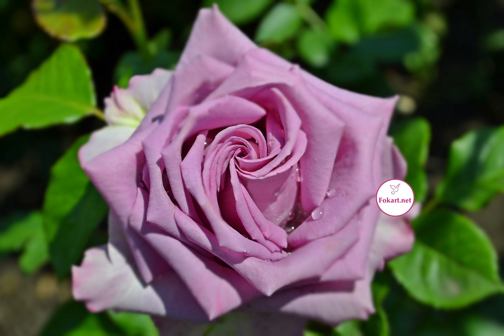 Сиреневая роза под солнцем после дождя