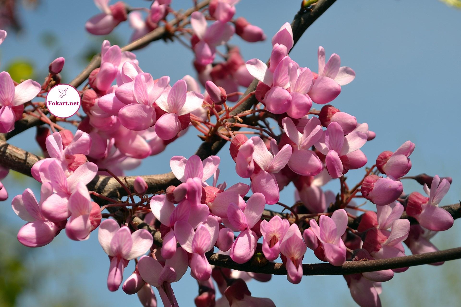 Розовые соцветия церциса европейского ; Багряник европейский , Иудино дерево