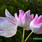 Три бело-розовых тюльпана с полосочками