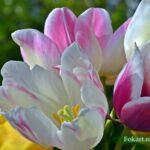 Букет разных тюльпанов крупным планом
