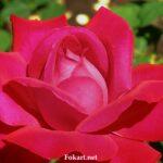 Тёмно-розовая роза начинает распускаться
