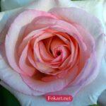 Умытая роза после сильного дождя