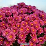 Хризантемы фрезового цвета