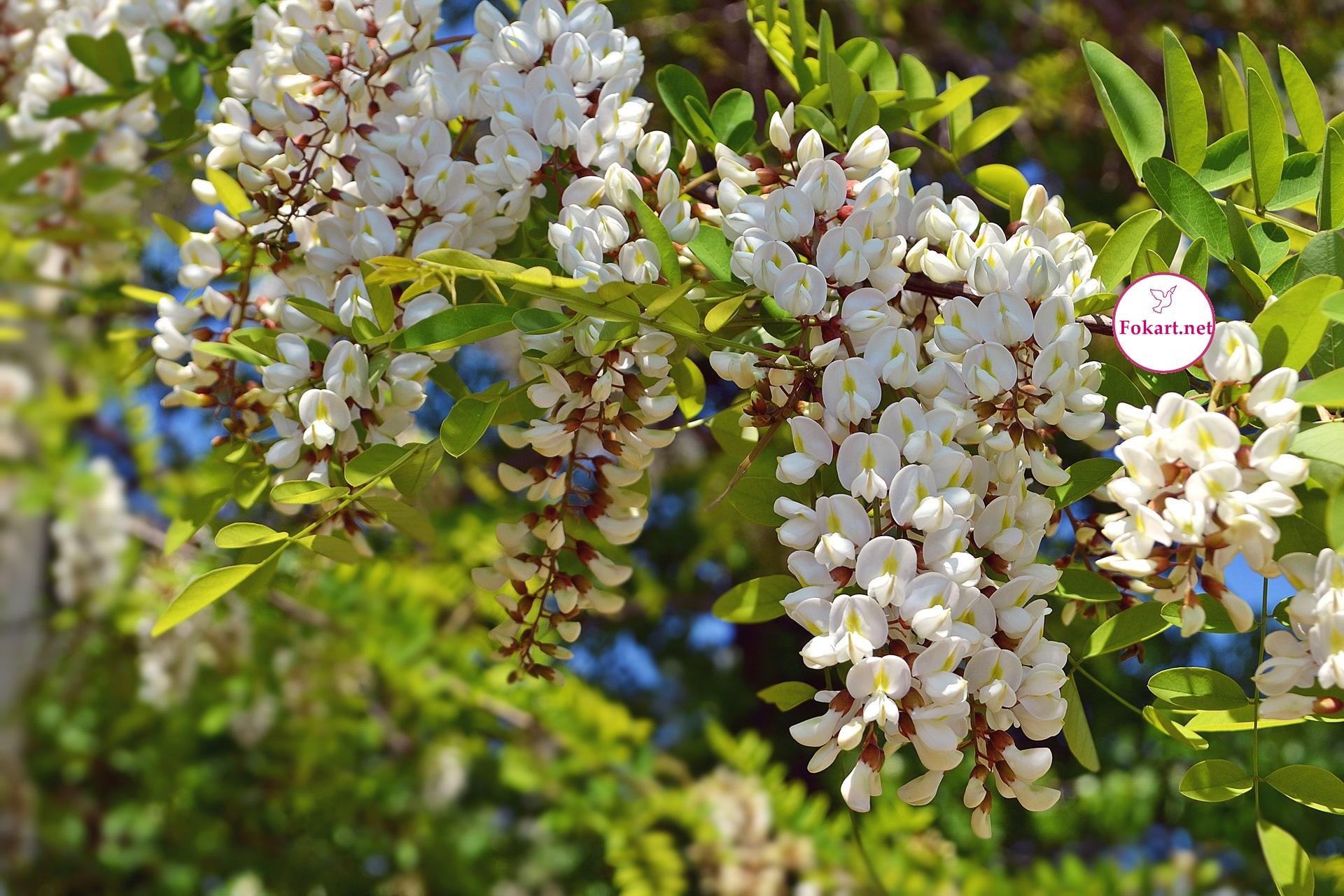 Ароматные белые грозди робинии обыкновенной