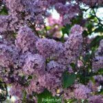 Веточки цветущей сирени на кусте