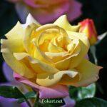 Жёлтая чайная роза на клумбе ранним июньским утром