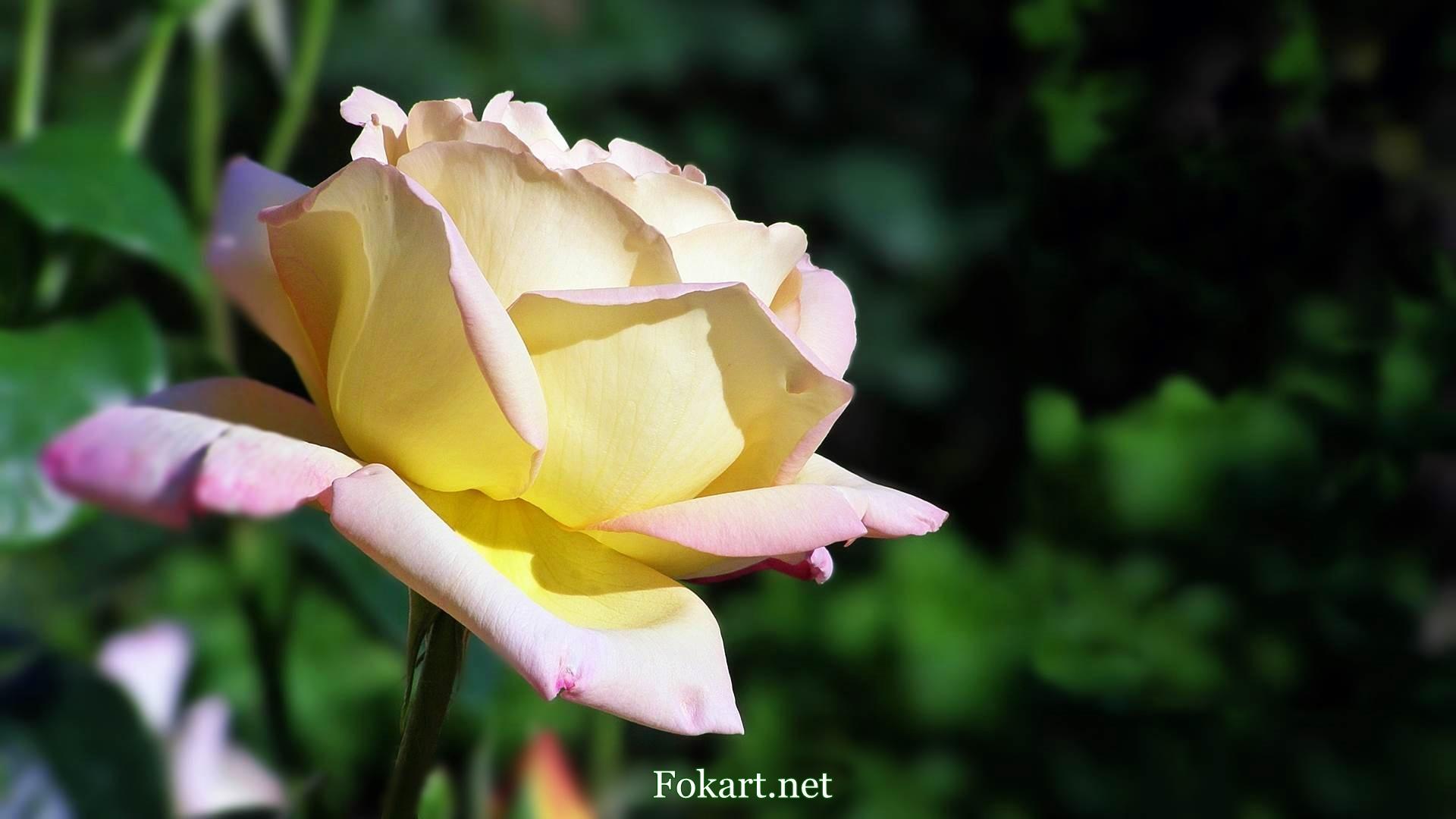 Желтоватая чайная роза в лучах солнца, вид сбоку