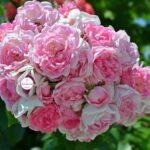 Шаровидное роскошное соцветие из розовых розочек