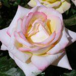 Крупная светлая роза с розовыми краешками лепестков