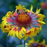 Цветок гайлардии в конце цветения