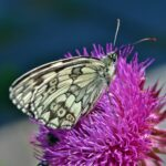 Пестроглазка галатея на ярком цветке чертополоха