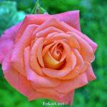Роза цвета лосося на фоне зелени