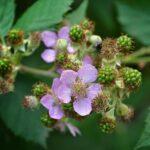 Сиреневый цветок и зелёные, незрелые плоды ежевики
