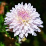 Светло-розовая хризантема