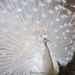 Белый павлин (Pavo cristatus Linnaeus)