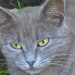 Мордочка серого кота с зелёными глазами вблизи