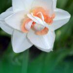 Красивый цветок нарцисса