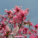 Розовые цветки магнолии и небо