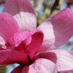 Крупный розовый цветок магнолии