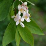 Цветки и ярко-зелёные листья жимолости Королькова в мае