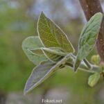 Молодая поросль с первыми листьями саженца павловнии в мае