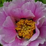 Розовый цветок древовидного пиона Рока (Paeonia rockii) вблизи