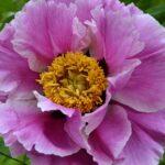 Цветок пиона древовидного Рока (Paeonia rockii). Розовый
