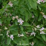 Цветущая жимолость Королькова в мае