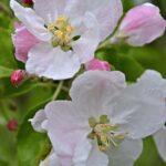 Цветы дикой яблони вблизи