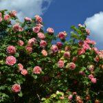Верхушка розового куста, фото