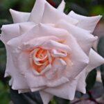 Бледно-розовая роза в июньских дождинках