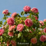 Цветущая веточка розового куста на фоне неба