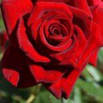 Сентябрьская красная роза