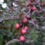 Созревающие плоды сливы Писсарда