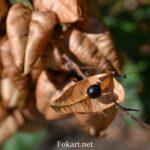 Чёрное семя кёльрейтерии метельчатой, фото